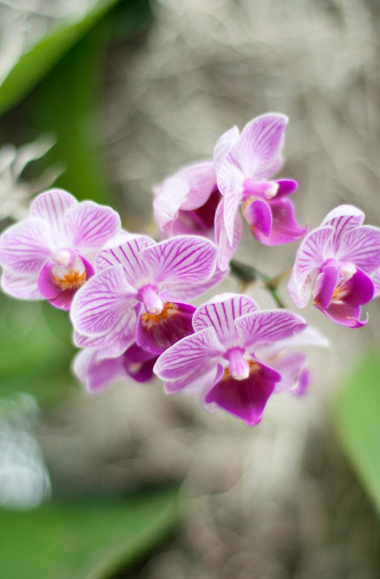 pinkorchids